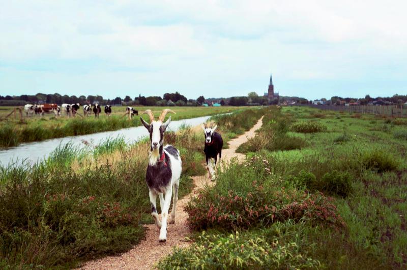 Tweee bokken op een klompenpad op het Eiland van Schalkwijk